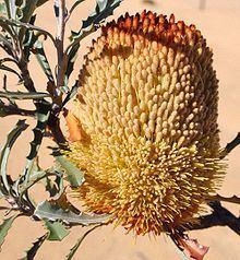 Banksia audax httpsuploadwikimediaorgwikipediacommonsthu
