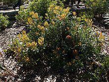 Banksia baueri httpsuploadwikimediaorgwikipediacommonsthu