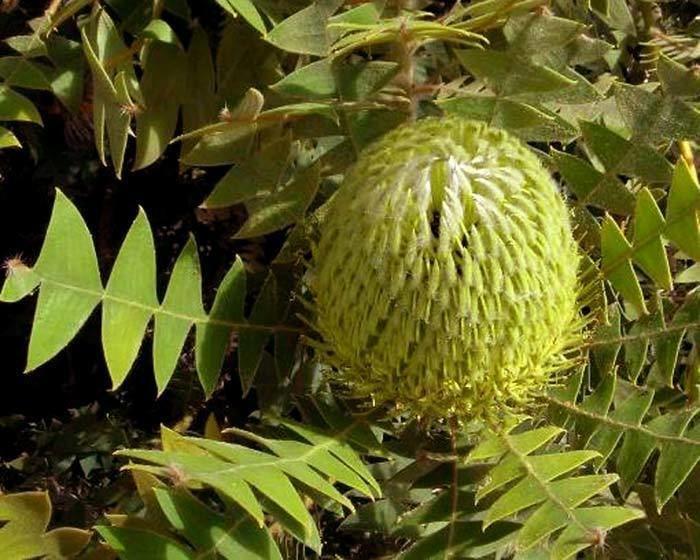 Banksia baxteri wwwgardensonlinecomauUploadsPlant2698Banksi