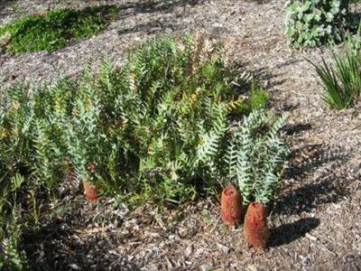 Banksia blechnifolia Banksia blechnifolia Australian Native Plants Plants 8007016517