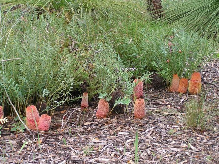 Banksia blechnifolia Banksia Blechnifolia Lullfitz Nursery
