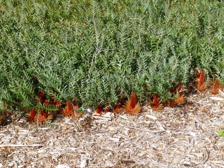 Banksia blechnifolia Banksia blechnifolia Ground Cover Banksia Gardening With Angus