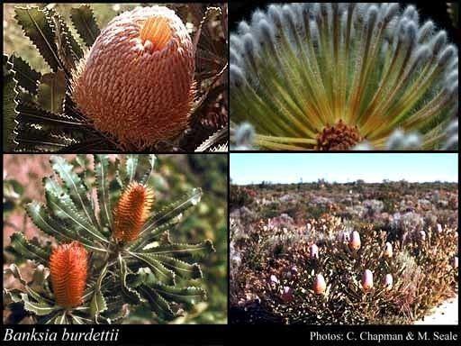 Banksia burdettii Banksia burdettii Baker f FloraBase Flora of Western Australia