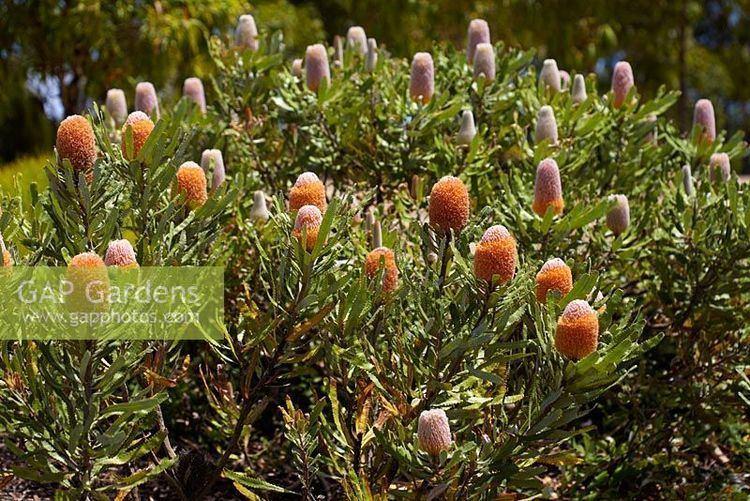 Banksia burdettii GAP Gardens Banksia burdettii Burdett s Banksia evergreen