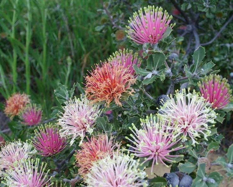 Banksia cuneata GardensOnline Banksia cuneata