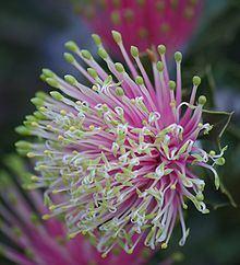 Banksia cuneata httpsuploadwikimediaorgwikipediacommonsthu