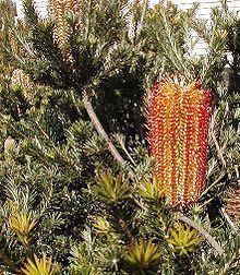Banksia ericifolia httpsuploadwikimediaorgwikipediacommonsthu