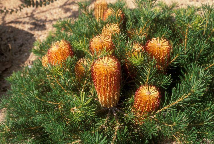 Banksia ericifolia Banksia ericifolia Proteaceae image 29123 at PlantSystematicsorg