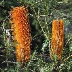 Banksia ericifolia Banksia ericifolia Growing Native Plants