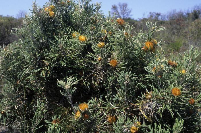 Banksia formosa Image Banksia formosa Showy Dryandra BioLibcz