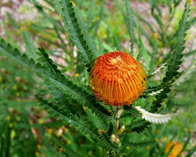 Banksia formosa wwwgardensonlinecomauUploadsPlant1257Banksi