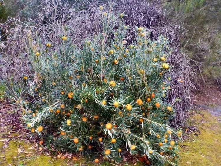 Banksia formosa Dryandra formosa Showy Dryandra Gardening With Angus