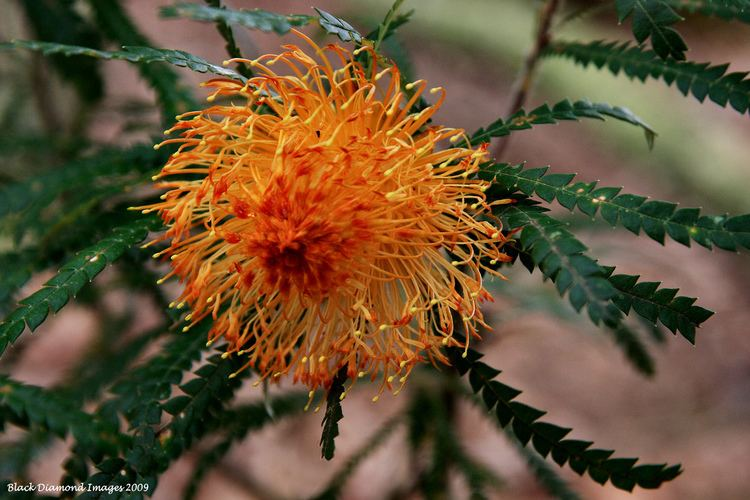 Banksia formosa Banksia formosa Dryandra formosa Showy Dryandra Flickr