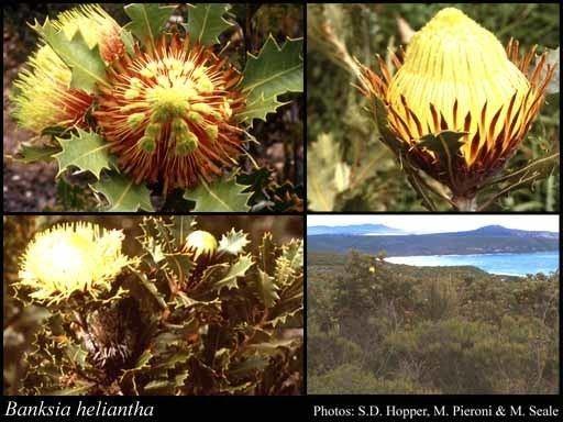 Banksia heliantha httpsflorabasedpawwagovausciencetimage32