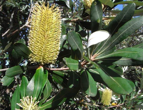 Banksia integrifolia wwwfriendsoflanecovenationalparkorgauImagesFl