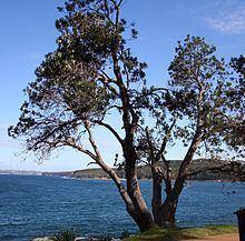 Banksia integrifolia Banksia integrifolia Wikipedia