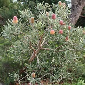 Banksia menziesii Banksia Menziesii