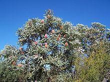 Banksia menziesii httpsuploadwikimediaorgwikipediacommonsthu