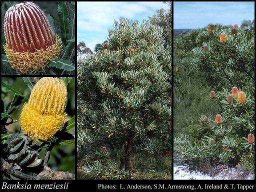 Banksia menziesii Banksia menziesii RBr FloraBase Flora of Western Australia