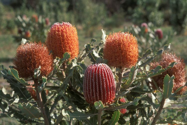 Banksia menziesii Banksia menziesii Proteaceae image 29125 at DiversityOfLifeorg