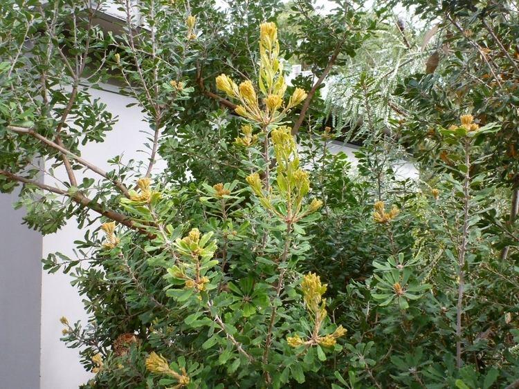 Banksia praemorsa Banksia praemorsa Cut Leaf Banksia Gardening With Angus