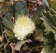 Banksia ser. Dryandra httpsuploadwikimediaorgwikipediacommonsthu