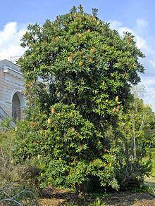 Banksia serrata httpsuploadwikimediaorgwikipediacommonsthu