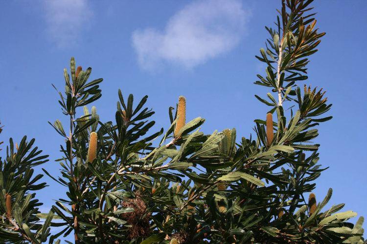 Banksia serrata Banksia serrata Art Studio Diary Soulsongart