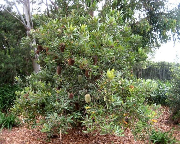 Banksia serrata GardensOnline Banksia serrata