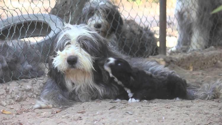 Barbado da Terceira Barbado da Terceira 6 weekold puppies YouTube