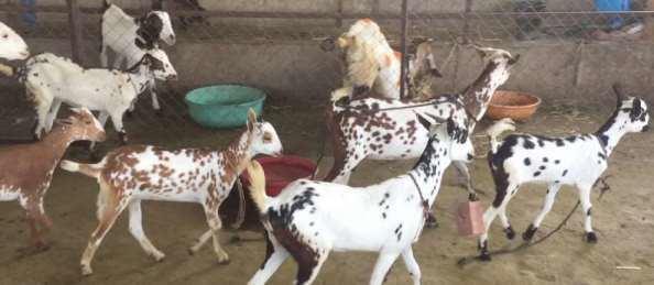 Barbari goat - Alchetron, The Free Social Encyclopedia