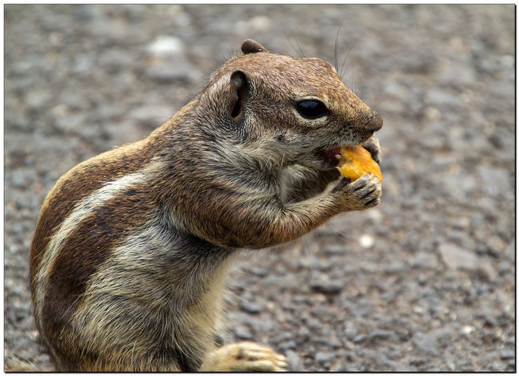 Barbary ground squirrel Barbary Ground Squirrel Don39t think it39s a chipmunk The s Flickr