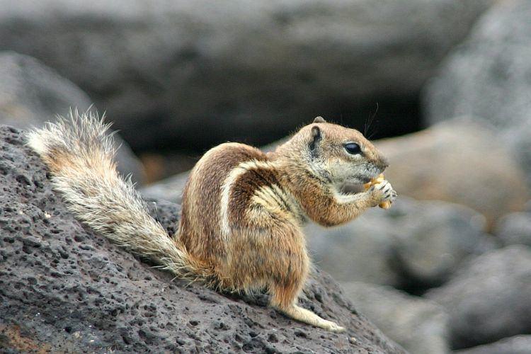 Barbary ground squirrel Image Atlantoxerus getulus Barbary Ground Squirrel BioLibcz