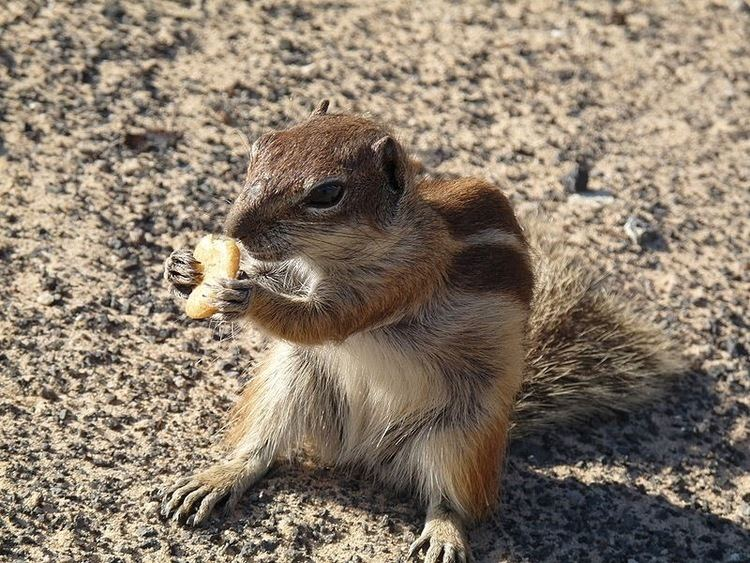 Barbary ground squirrel The News For Squirrels Squirrel Facts The Barbary Ground Squirrel