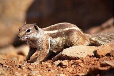 Barbary ground squirrel Atlantoxerus