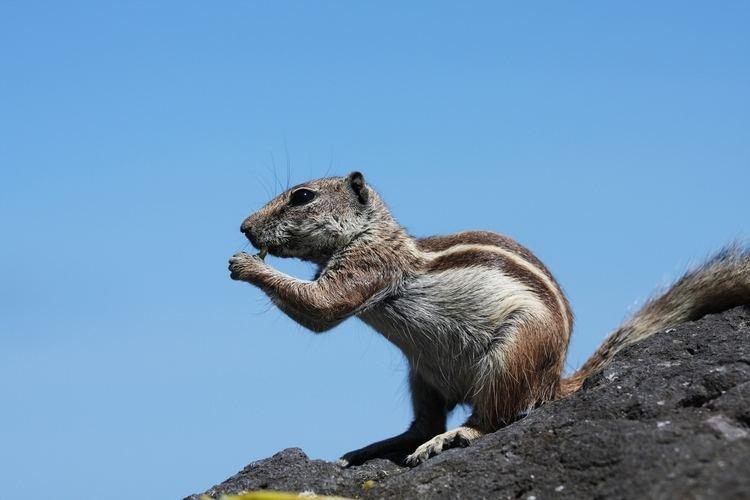 Barbary ground squirrel Barbary ground squirrel Wikipedia