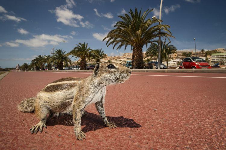 Barbary ground squirrel Barbarians SAM HOBSON PHOTOGRAPHY