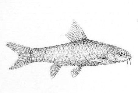 Barbus nigeriensis