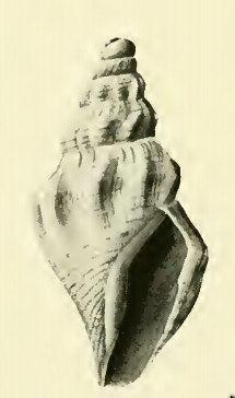 Bathytoma profundis