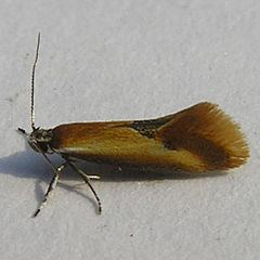 Batia lunaris httpsuploadwikimediaorgwikipediacommonsthu