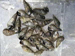 Batillariidae httpsuploadwikimediaorgwikipediacommonsthu
