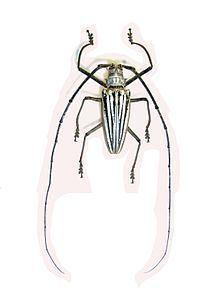 Batocera lamondi httpsuploadwikimediaorgwikipediacommonsthu