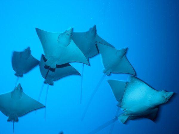 Batoidea imagesnationalgeographiccomwpfmedialivephoto