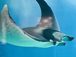 Batoidea Batoidea Wikipedia