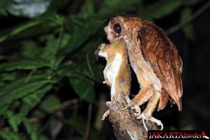 Bay owl Oriental Bayowl Phodilus badius videos photos and sound