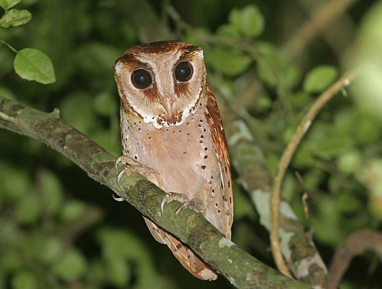 Bay owl Oriental Bay Owl Phodilus badius Picture 4 of 4 The Owl Pages