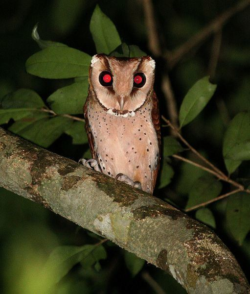 Bay owl Oriental Bird Club Image Database Bay Owl Phodilus badius