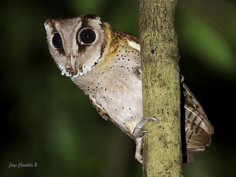 Bay owl wwwhbwcomsitesdefaultfilesstylesibc1kpubl