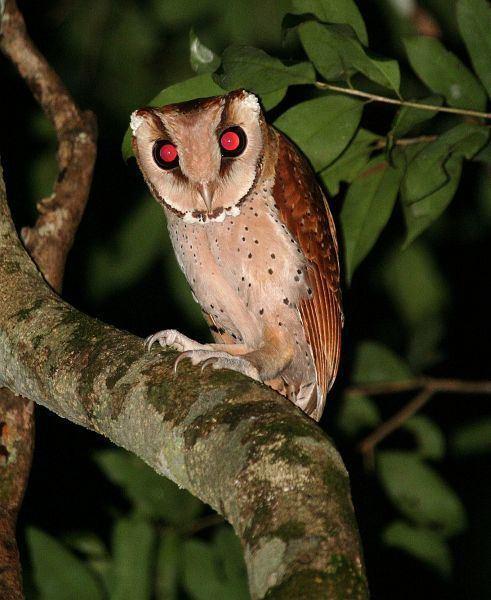 Bay owl Oriental Bird Club Image Database Photographers