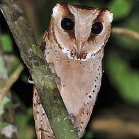 Bay owl Oriental Bay Owl Phodilus badius Information Pictures Sounds